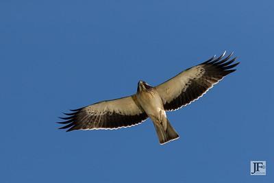 Booted Eagle, Rio Guadalhorce