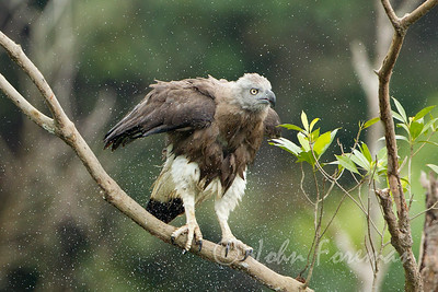 Grey Headed Fish Eagle, Singapore