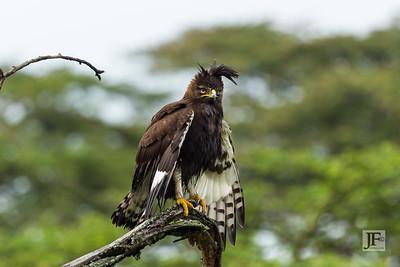 Long crested Eagle, Naivasha