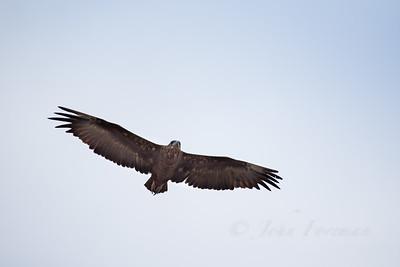 Bateleur Eagle, Selous