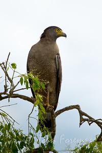 Serpent Eagle, Yala