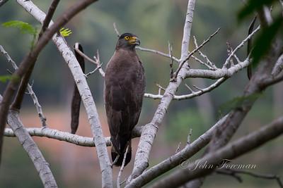 Serpent Eagle, Hikkaduwa