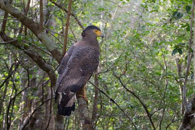 Serpent Eagle, Wilpattu
