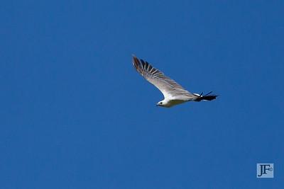 White bellied Fish Eagle, Yala
