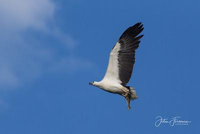 White-bellied Fish Eagle, Goa