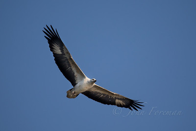 White bellied Fish Eagle, Goa