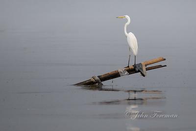 Great White Egret, Jakarta
