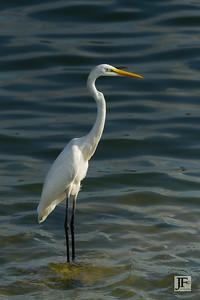 Great White Egret, Singapore
