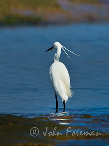 Little Egret, Gran Canaria