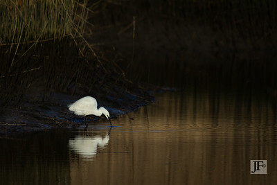 Little Egret, Mudeford