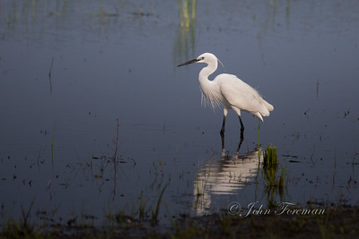 Little Egret, Wilpattu