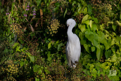 Little Egret, Blandford