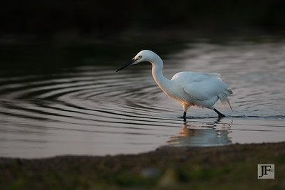 Little Egret, Dorset