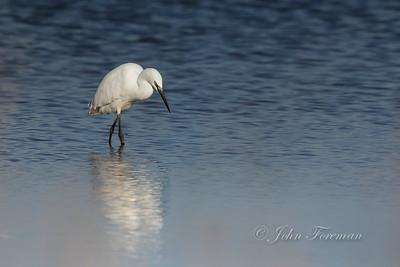 Little Egret, Dorset