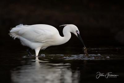 Little Egret, Keyhaven