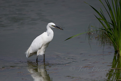 Little Egret, Lackford