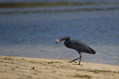Pacific Reef Egret, Lombok