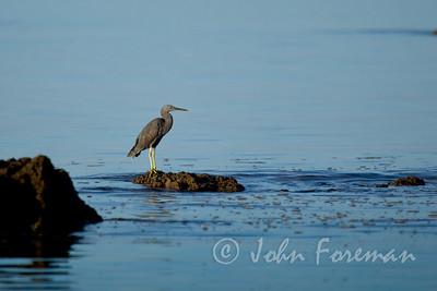 Pacific Reef Egret, Thailand