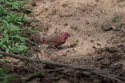 Red-billed Firefinch, Selous