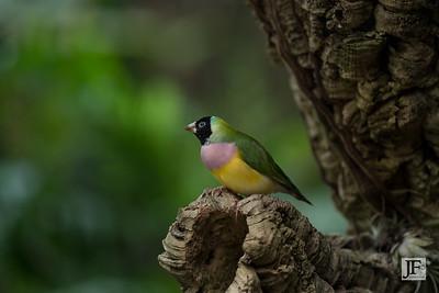 Gouldian Finch, Benalmádena (captive)