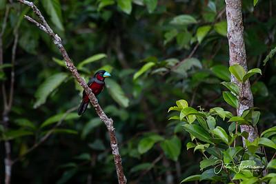Black and Red Broadbill, Tanjung Puting