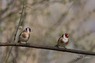 Goldfinches, Blashford