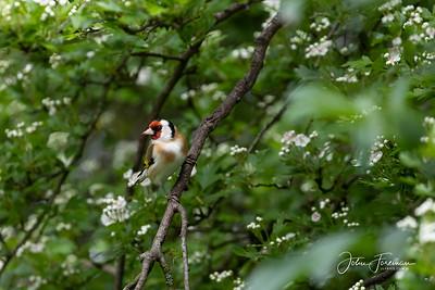 Goldfinch, West Sussex