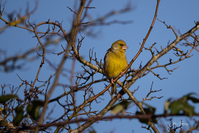 Greenfinch, Stour Valley