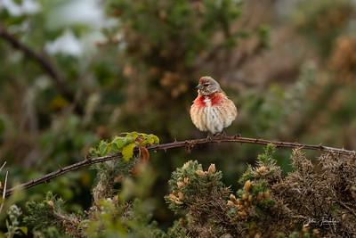 Juvenile Linnet, Hampshire