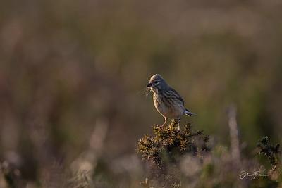 Female Linnet, Dorset