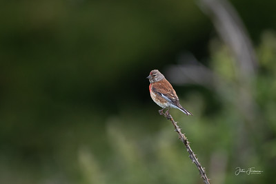 Male Linnet, Hampshire