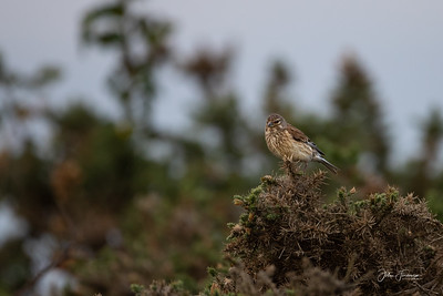 Female Linnet, Hampshire