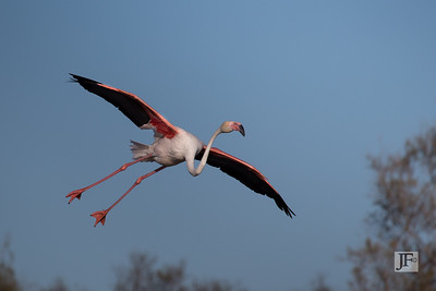 Greater Flamingo, Camargue