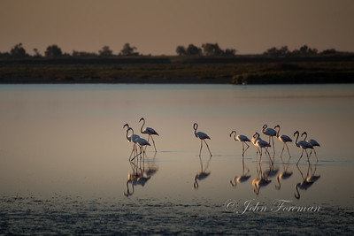 Greater Flamingos, Camargue