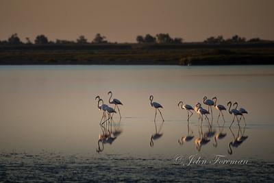 Greater Flamingos, Camargue
