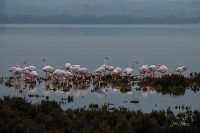 Greater Flamingos, Laguna De Fuente De Piedra