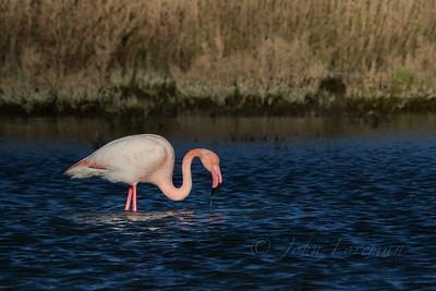 Greater Flamingo, Camargue