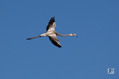 Juvenile Greater Flamingo, Camargue