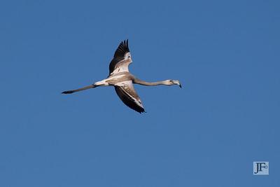 Juvenile Greater Flamingo, Camargue