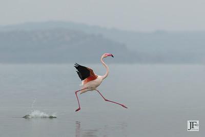 Greater Flamingo, Laguna De Fuente De Piedra