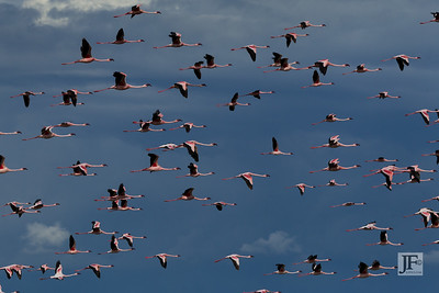 Lesser Flamingos, Lake Oloiden