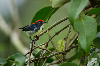 Scarlet-backed Flowerpecker, Pulau Ubin
