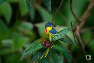 Crimson-breasted Flowerpecker, Panti Forest