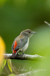 Female scarlet-backed Flowerpecker, Sungei Buloh
