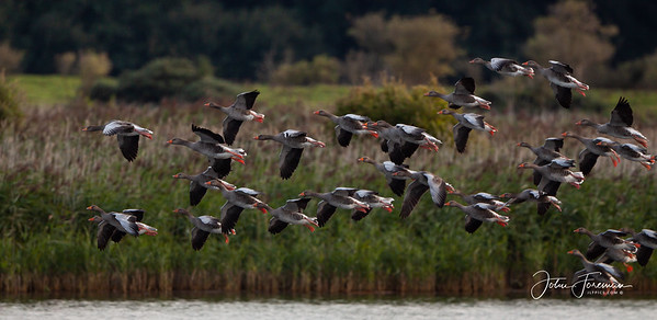Greylag Geese, Minsmere