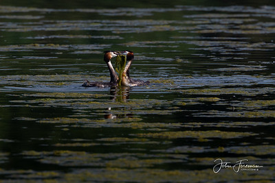 Great crested Grebes, Rutland