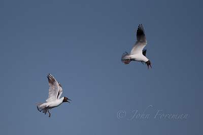 Black-headed Gulls, Lackford