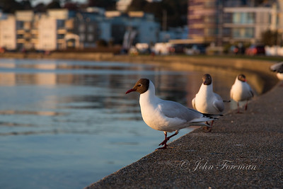Black-headed Gulls, Poole