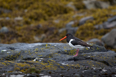 Oyster Catchers, Mull