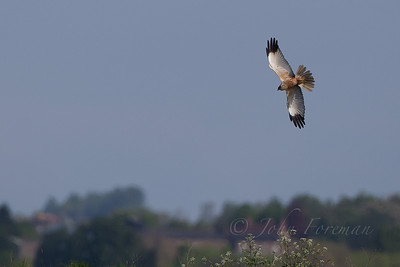 Marsh Harrier, Tollesbury Marshes